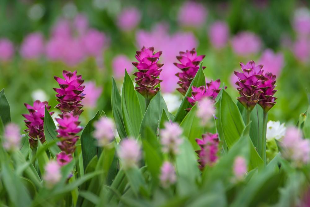 Kurkuma virág - különleges dísznövény